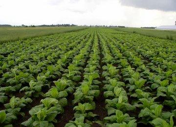 Tobacco Production Meets 20% of Domestic Demand