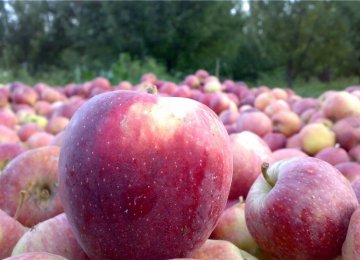 W. Azarbaijan Daily Apple Export at 3,000 Tons