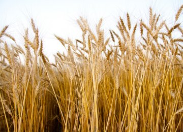 Wheat Cultivation  Set to Begin