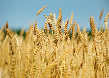 Gov't Buys 550K Tons of Wheat in 20 Days