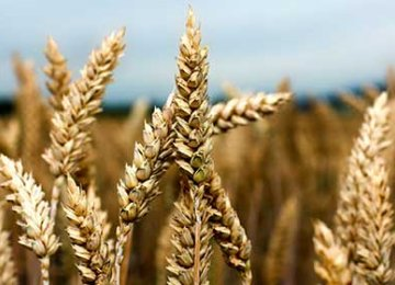 Gov't Wheat Purchases Exceed 8m Tons