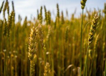 Dramatic Rise in Iran Wheat Exports | Financial Tribune