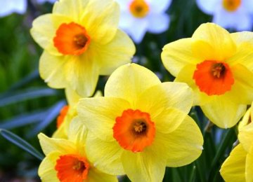 Iran Daffodil Production Hits 600m p.a.