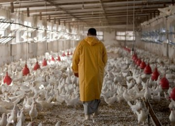 Poultry Farmers Facing Feed Shortage
