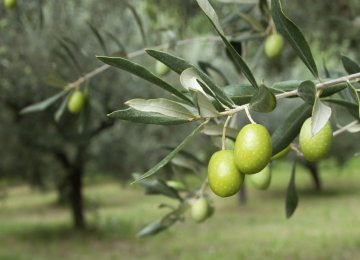 Olive Output Expected to Reach 120K Tons by Fiscal Yearend