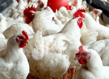 Chicken Exports Decline Due to Bird Flu