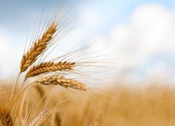 Gov't Wheat Purchase in Full Swing
