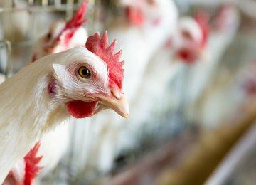 Bird Flu Acute in 2 Provinces