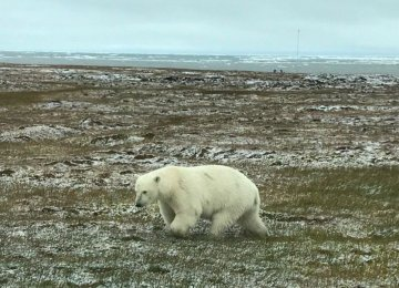 Misplaced Polar Bears Draw Tourists to Alaska Island