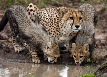 Semi-Captive Breeding for Asiatic Cheetahs