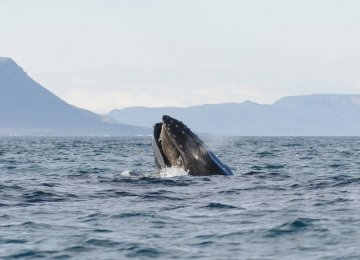 Endangered Whale Seen off Iceland