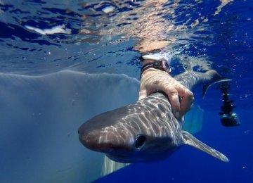 Atlantic Shark Discovered