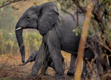 Kenyan Rangers Turn Detectives to Protect Elephants