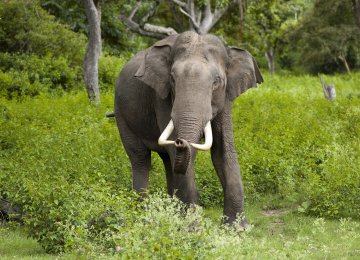 Wild Elephant Kills 2 Women  in Nepal