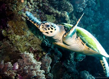 Hawksbill Turtles Begin Laying Eggs