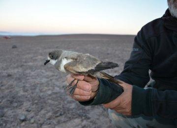 Seabird Breeding Grounds Identified in Chile