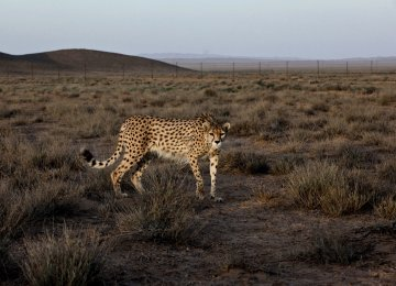 Fences along the high-risk parts of roads will protect cheetahs from road accidents.