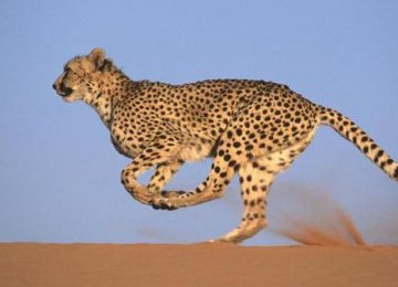Four cheetahs have been reintroduced to Liwonde National Park.