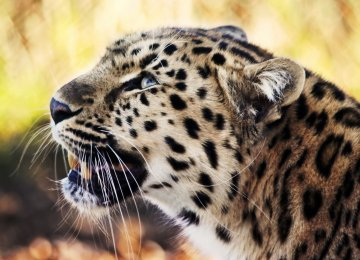 DOE Probes Leopard Death Cover-Up Allegations