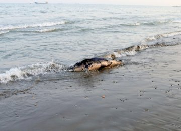 Dead Dolphin Found  in Bandar Abbas