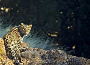 Mazandaran is one of the main habitats of the Persian leopard in Iran.