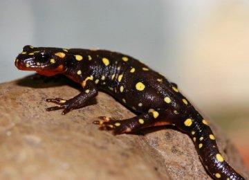 Kurdistan Spotted Newt on Verge of Extinction