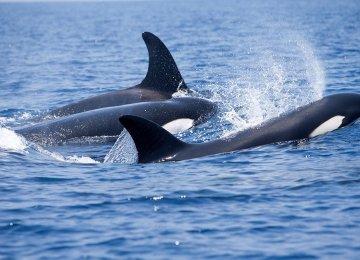 DOE Confirms Orca  Sightings Off Bushehr Coasts