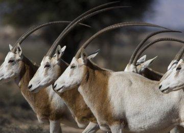 Extinct Antelope Making Comeback in Chad