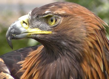 52% of World's Birds of Prey Populations in Decline