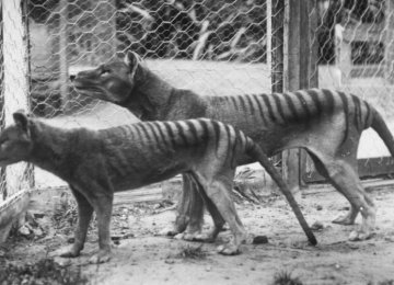 Sightings Raise Hope for Tasmanian Tiger Comeback