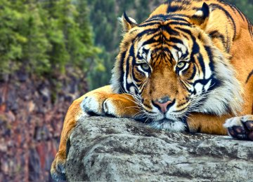 More than one in four people underestimate the dangers facing tiger populations.