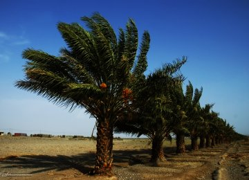 Iran World's Leading Producer of Dates