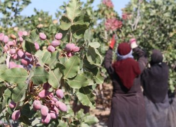 Pistachio Production Reaches 320K Tons So Far
