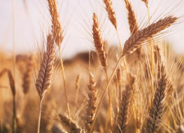 Agricensus Expects Iran's Wheat Imports to Triple