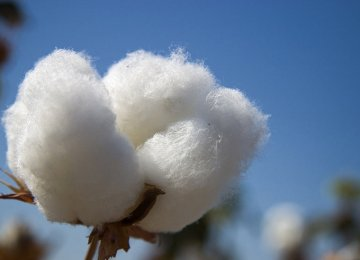 1st Cotton Seedling Cultivation in Iran