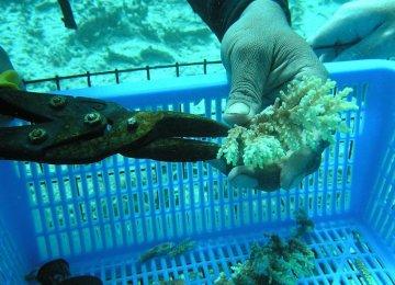 Coral Aquaculture in Hengam