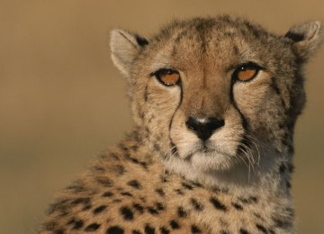 Cheetah Nearer to Extinction Than Previously Thought