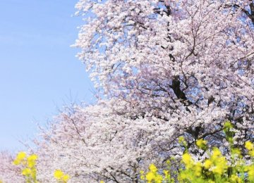 Blossoms signify a new period, a new time, Norouz or literally, new day.