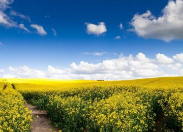 Rapeseed Output to Increase