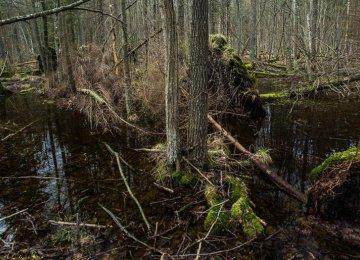 Ancient European Forest on Verge of Destruction