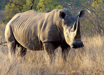 Wildlife Groups Mull Rhino Haven in Australia