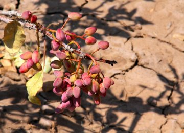 Every year, between 12,000 and 15,000 hectares of pistachio farms disappear in Kerman Province.