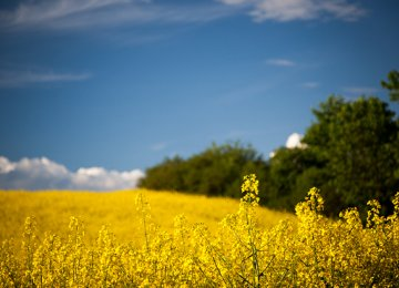 Oilseed Output to Reach 450 KT by Yearend