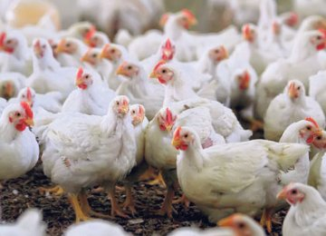 24K Tons of Chicken to Be Exported to Iraq