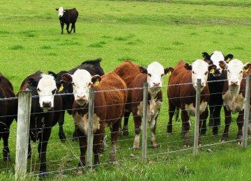 Iraq Lifts Ban on Iranian Livestock