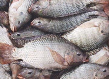 Tilapia Imports Hurt Local Fish Farmers