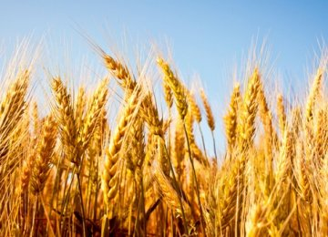 Gov't Wheat Purchases Exceed 4m Tons