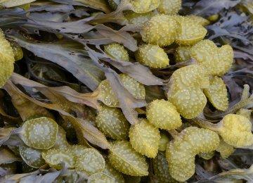 Iranians Purify Wastewater Using Seaweed