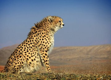 24/7 Protection for Orphaned Cheetah