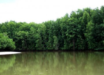 Baluchistan Mangrove Forests Growing